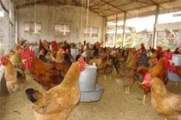 Chấm dứt tình trạng 1 con gà