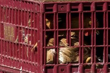 Sợ virus, Trung Quốc đóng cửa với gia cầm Mỹ