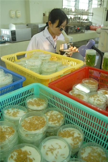 Tái cơ cấu lúa gạo: An ninh lương thực vẫn hàng đầu