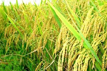 Hậu Giang:  25.000ha lúa có thể bị ảnh hưởng hạn - mặn cao