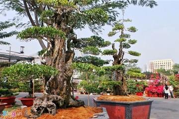 Cặp khế 300 năm tuổi giá 7 tỷ tại phố nhà giàu Sài Gòn