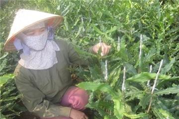 Chuyện 'cây tỷ đô' ở Lâm Đồng: Lắm người khóc!