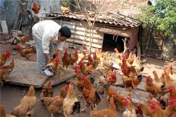Chiêu rửa độc cá, gà trước khi ra chợ