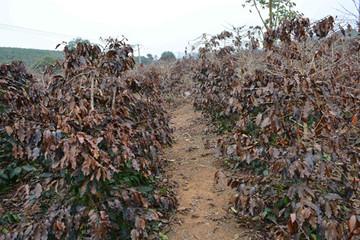 Thời tiết xấu, sản lượng cà phê Việt Nam giảm 20% trong niên vụ 2014/15