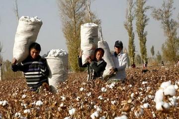 Người trồng bông ở Trung Quốc sẽ được chính phủ trợ giúp