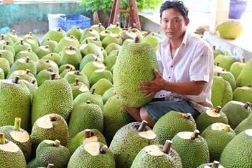 Lãi 400 triệu đồng mỗi ha mít Thái