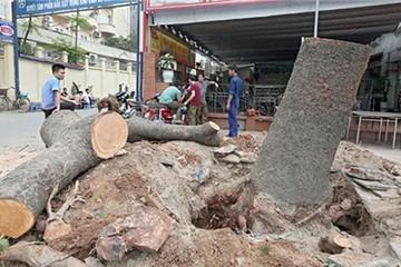 Việc chặt cây ở Hà Nội có dấu hiệu vi phạm luật