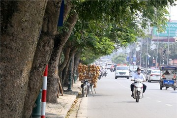 Hàng loạt cây xà cừ ở Hà Nội bị lột vỏ
