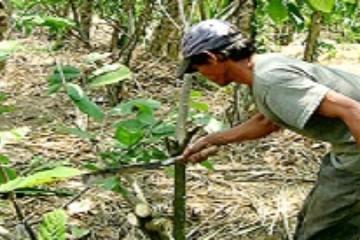 Mủ thô rớt giá, nông dân đua nhau chặt bỏ cây cao su