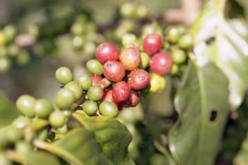 """Hiệp hội cà phê """"kêu trời"""" vì giá giảm, sản xuất và xuất khẩu cũng giảm"""