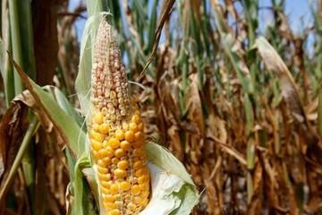 Nông dân Lào Cai lao đao vì ngô có bắp nhưng không hạt