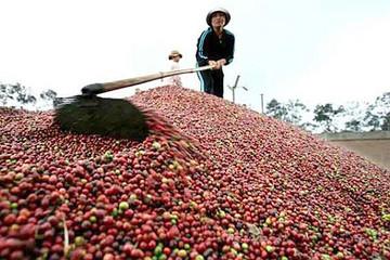 Ngày 7/11: Giá cà phê trong nước bất ngờ giảm mạnh 1,2 triệu đồng/tấn