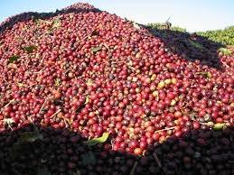 Giá cà phê trong nước tăng trở lại 400 nghìn/tấn