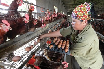 Vào TPP, chăn nuôi theo tập quán sẽ bị đào thải