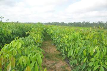 Gemadept trồng cao su ở Campuchia: Thắng làm vua, thua thì… huề