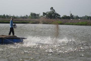 Sản lượng cá tra giảm 17%