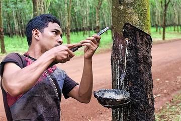Thái Lan: Sản lượng mủ cao su giảm 50%