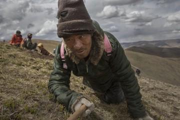 Cuộc săn tìm Đông trùng hạ thảo trên cao nguyên Tây Tạng