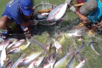 Một lô cá da trơn Việt Nam bị từ chối cấp phép nhập khẩu vào Mỹ