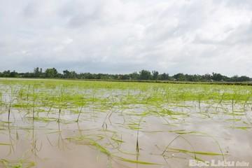 Bão số 3 khiến hơn 700ha lúa mùa của Nam Định chìm trong nước
