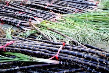 Bộ NN&PTNT tính chuyện trồng mía giữa vườn cao su