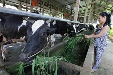 Năm 2020 đàn bò sữa TPHCM sẽ cung cấp 360.000 tấn sữa hàng hóa