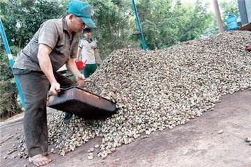 Giá điều tăng kỷ lục: nông dân lại