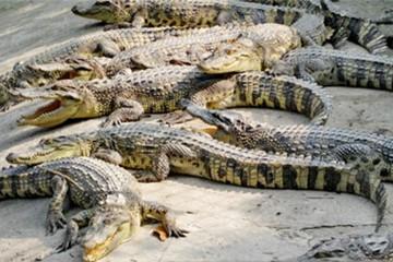 Thương lái Trung Quốc ép giá, người nuôi cá sấu lao đao