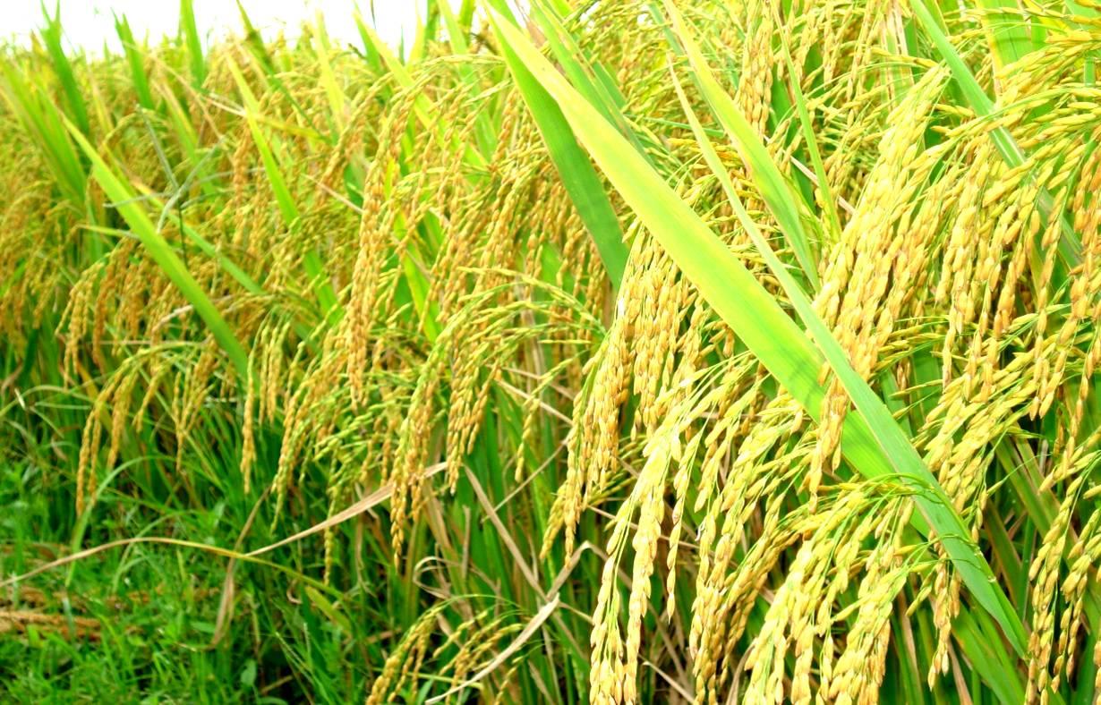 7.000 tỷ đồng tái cấu trúc ngành lúa gạo