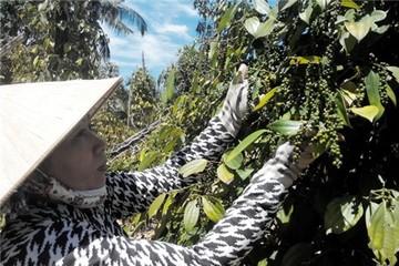 Mỗi năm, Việt Nam xuất khẩu trên 1 tỷ USD hồ tiêu