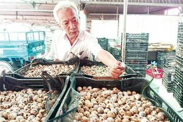 Lão nông miền Tây thu chục tỷ mỗi năm từ trứng cút đóng lon xuất khẩu