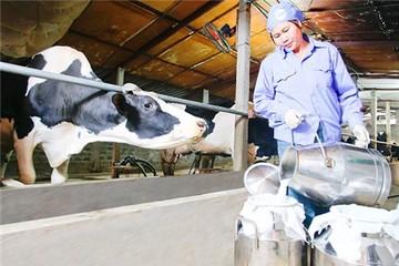 Doanh nghiệp làm khó, nông dân rao bán bò sữa