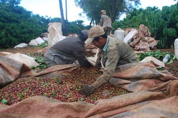 Cà phê được giá, nông dân vẫn... 'méo mặt'