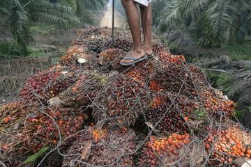 Lạm dụng lao động tại các đồn điền cọ Indonesia