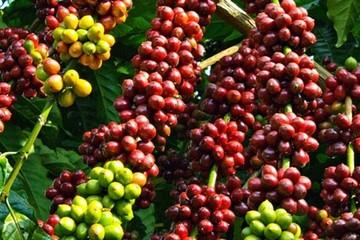 Cà phê Việt Nam gặp khó vì mùa mưa đến muộn