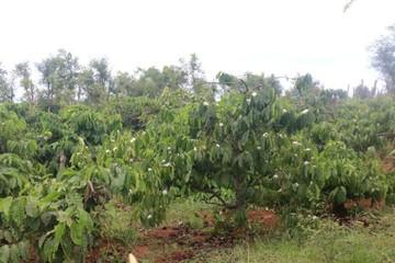 Sản lượng cà phê 2016-2017 ước giảm 3,5 triệu bao