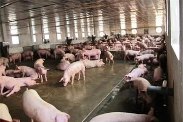 """Bộ Nông nghiệp cảnh báo tăng """"nóng"""" tổng đàn lợn cả nước"""