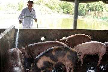 Heo thịt tồn ứ khắp Đồng bằng Sông Cửu Long