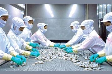 Hoàn thuế chống bán phá giá 70 tỷ đồng, Minh Phú vẫn chỉ lãi bằng 1/10 thời hoàng kim