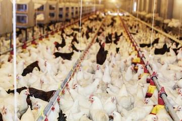 Hàng loạt nước châu Á cấm nhập khẩu gà từ Mỹ