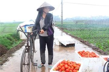 Người dân Hưng Yên khốn khổ kêu cứu vì giá cà chua rớt thảm
