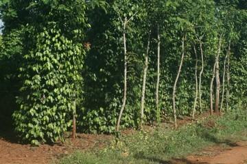 Ấn Độ: hủy bỏ lệnh tạm ngưng nhập khẩu nông sản từ Việt Nam