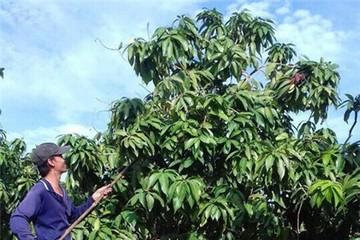 Nông dân Việt xuất ngoại thuê đất trồng xoài