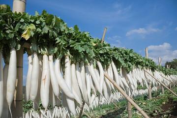 EU mở rộng sản xuất đường củ cải - cơn ác mộng đối với các nước xuất khẩu đường mía thô