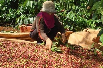 Cà phê Việt 2 USD/kg, Starbucks mua về bán... 200 USD/kg