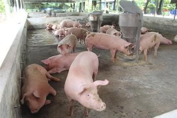 Giá thịt lợn rẻ nhất thế giới, Bộ Nông nghiệp 'nhờ cậy' doanh nghiệp