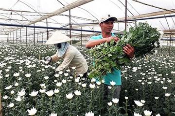 """Nhật Bản, Hàn Quốc đang """"khát"""" hoa Đà Lạt"""