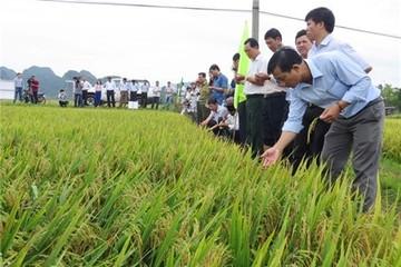 Thiên ưu 8 trên cánh đồng Quảng Bình, TT-Huế: Năng suất, hiệu quả, dân mê
