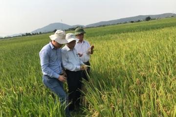 Vì sao đạo ôn cổ bông hại nặng lúa xuân ở Hà Tĩnh