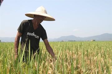 Hơn 10.600 ha lúa nhiễm đạo ôn ở Hà Tĩnh: Chưa rõ trách nhiệm của ai?